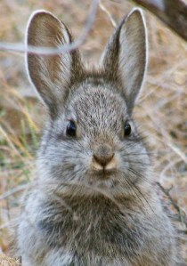 Pygmy rabbit and one of 15 known policy victims.